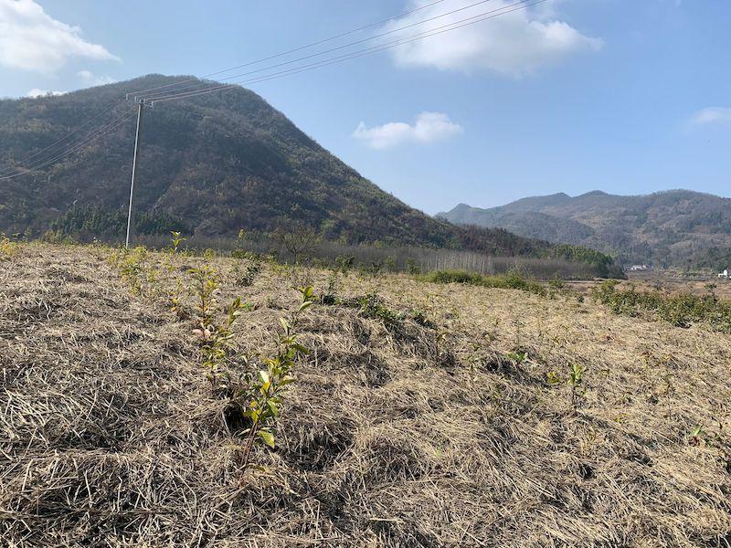 村民疑因对扶贫工程不满火烧茶园
