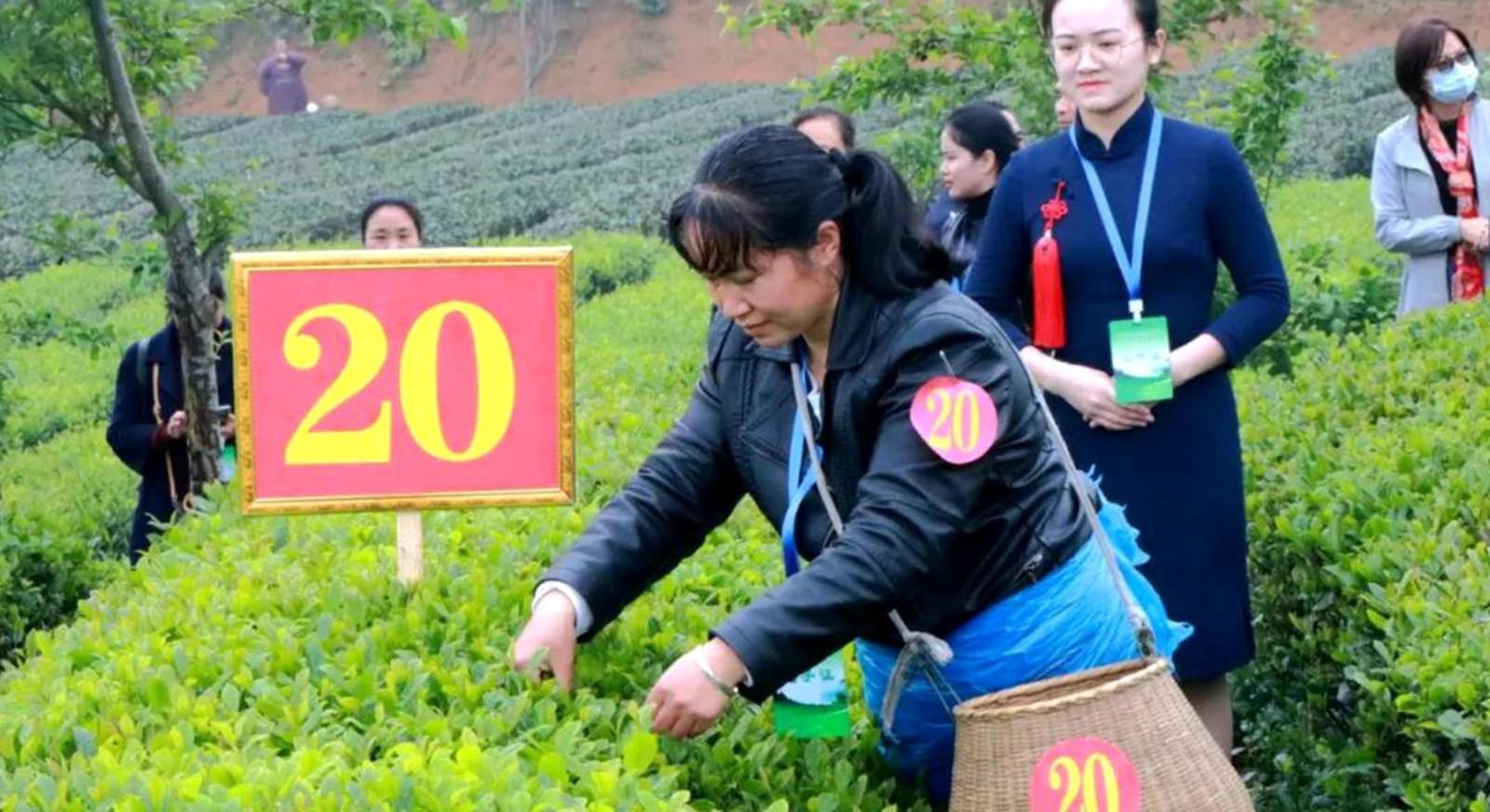"""湄潭县举办""""2020年贵州省采茶技能竞赛———湄潭县分赛场采茶比赛""""活动"""